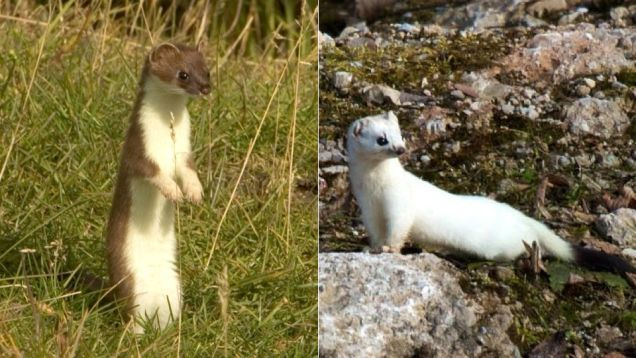 Figure 2: The sly weasel knows a seasonal change of color may trick its enemies.  Figure from: http://io9.com/5959772/how-and-why-animals-change-color-with-the-seasons