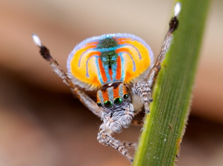 A male Peacock Spider performs its mating ritual
