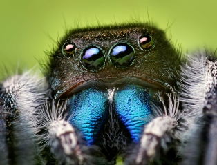 The bold jumping spider, common throughout North America